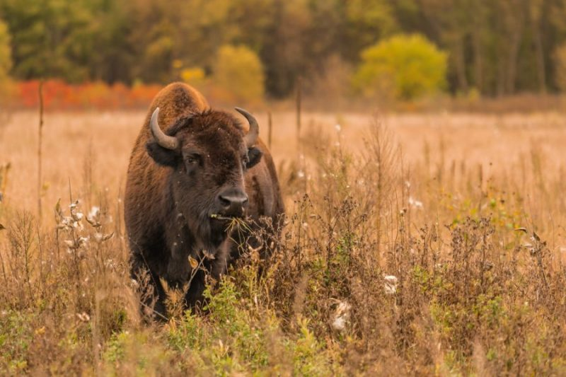 Minneopa Buffalo
