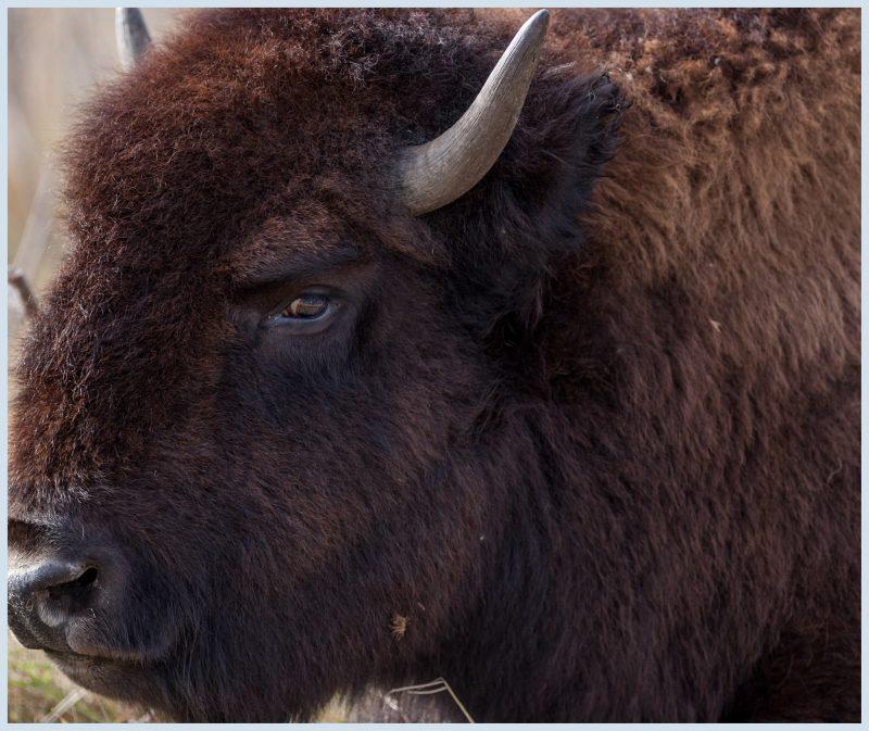 Minneopa Bison